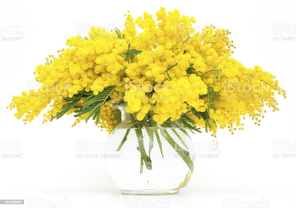 bouquete of mimosa royalty-free stock photo