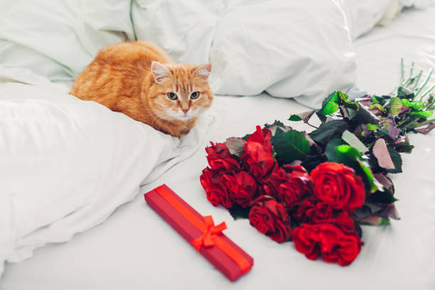 Bouquete of roses and gift box as surprise for Valentine's Day left on bed at home. Cat lying by presents Bouquete of red roses and gift box as surprise for Valentine's Day left on bed at home. Cat lying by presents. cat valentine stock pictures, royalty-free photos & images