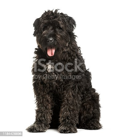 Bouvier des Flandres sitting against white background