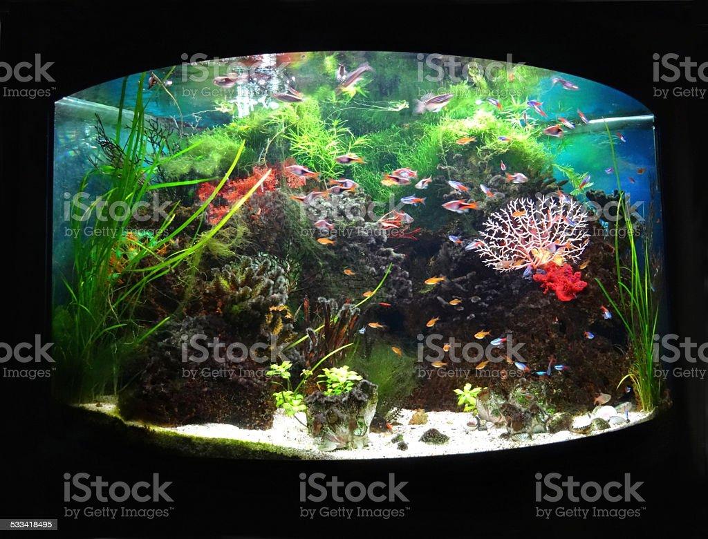 Bowed / bow-fronted tropical aquarium fish tank, Neon-tetra fish, guppies, harlequin-rasbora stock photo