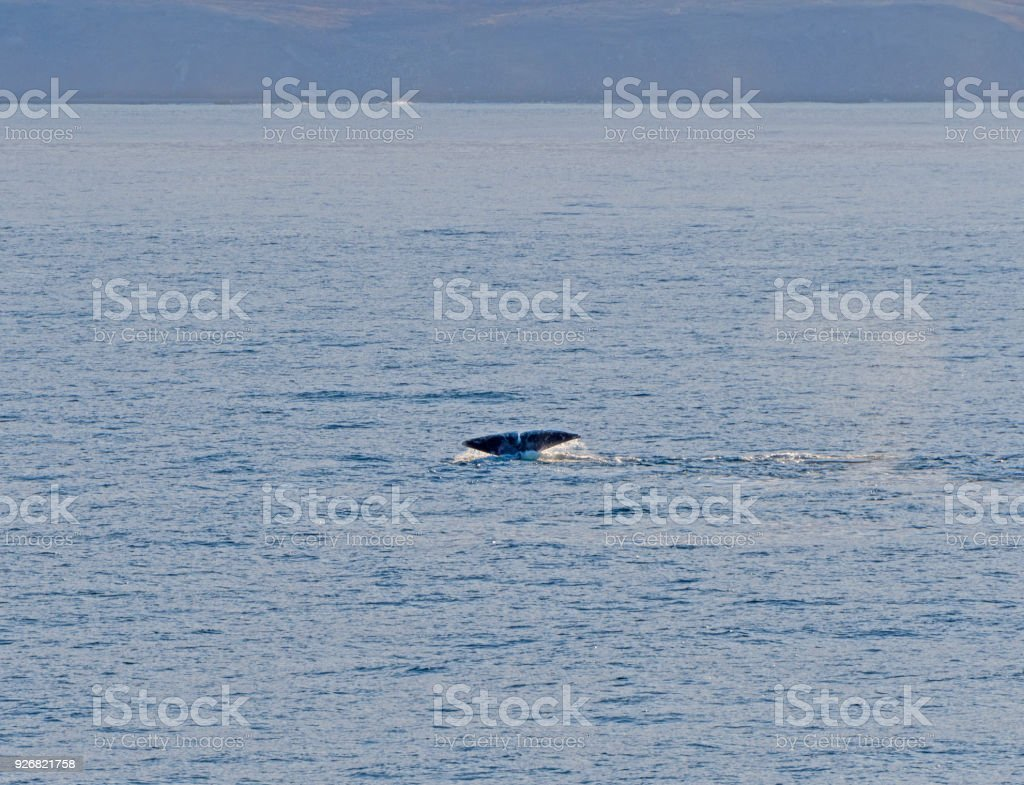 Bowhead whale flukes in the arctic stock photo