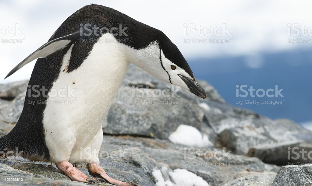 Bowing Chinstrap Penguin stock photo