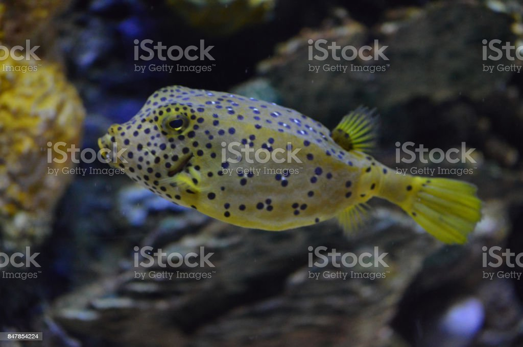 Box Fish stock photo