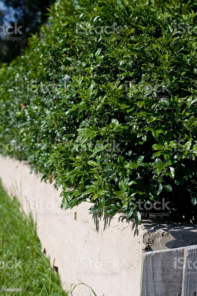 Box Hedge and Concrete Wall stock photo