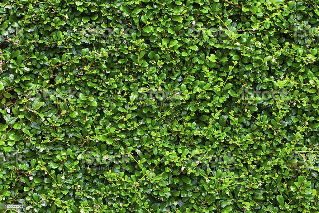 Box hedge background with green leaves royalty-free stock photo