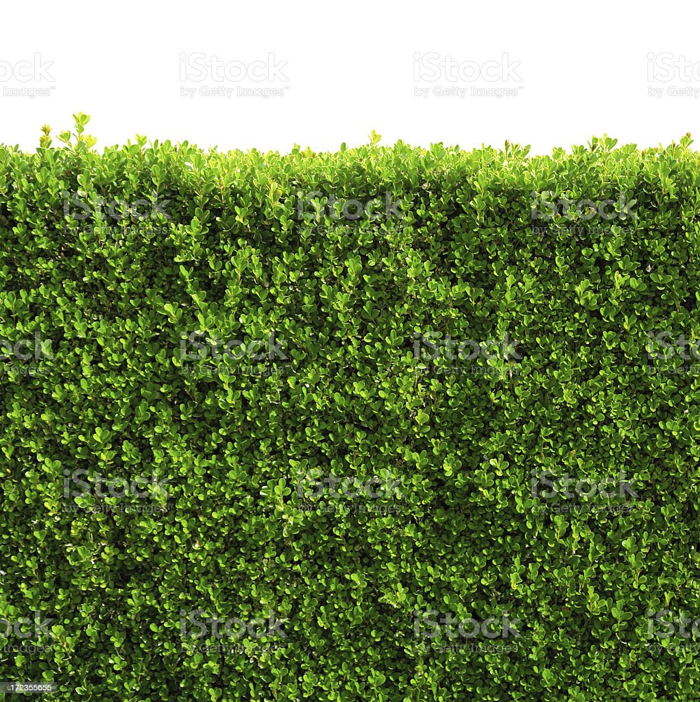 Box hedge with green leafs isolated / clipping-path stock photo