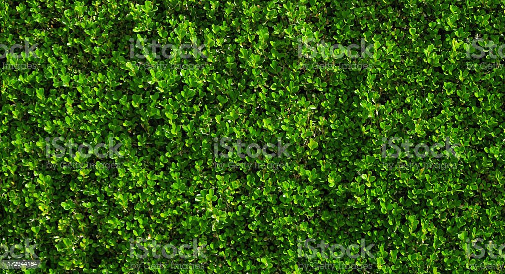 Box hedge with green leafs.