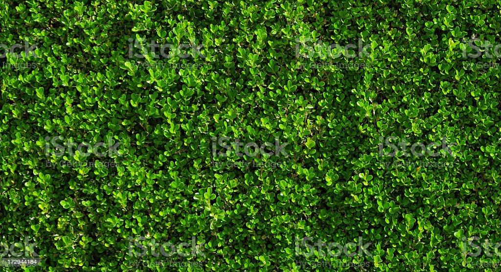 Box Haie avec green leafs. - Photo
