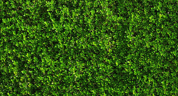 Box hedge with green leafs. stock photo
