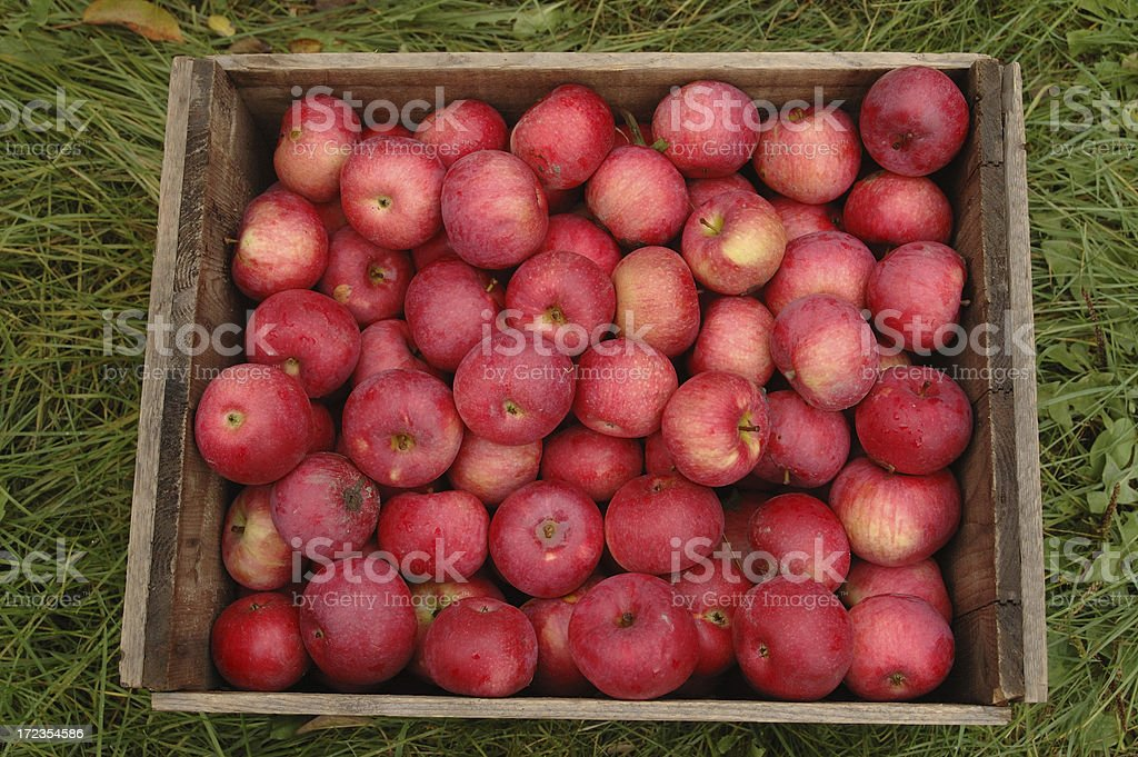 Box of Apples royalty-free stock photo