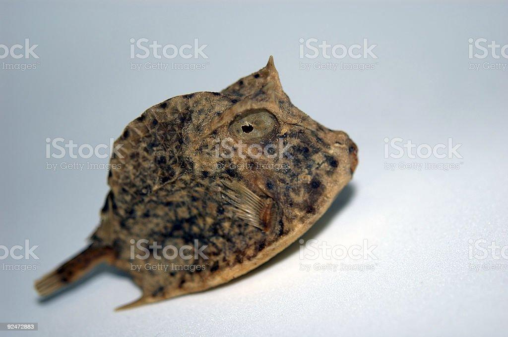 Box Pufferfish royalty-free stock photo