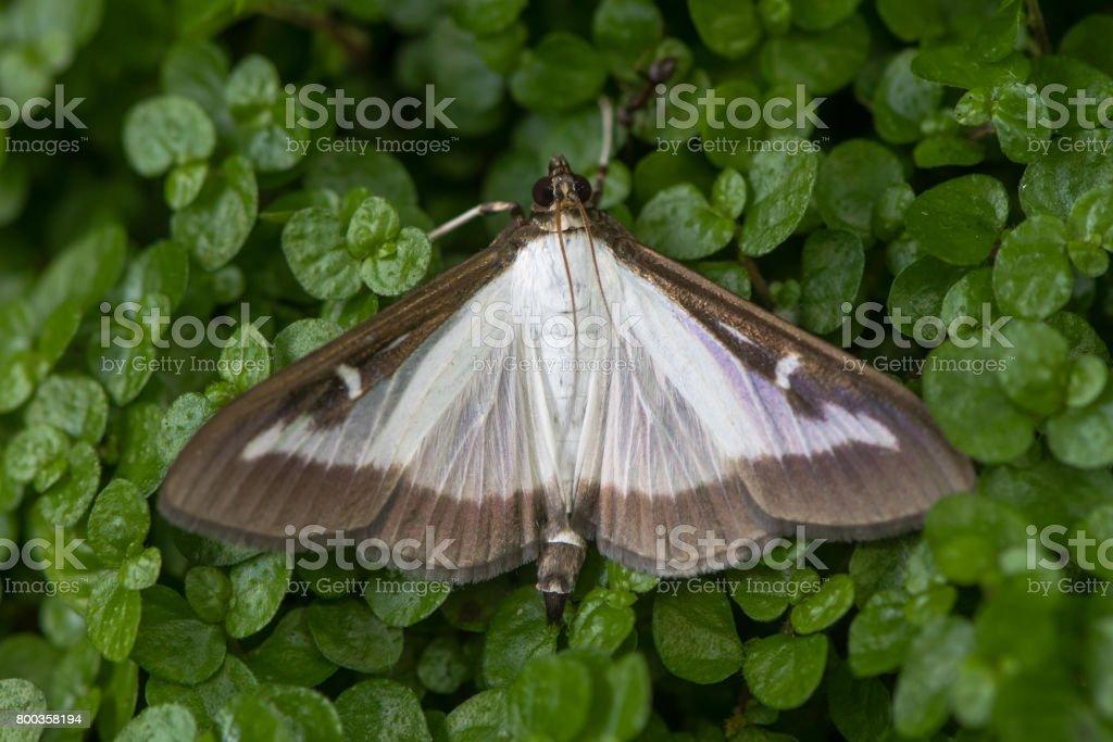 Box tree moth (Cydalima perspectalis) stock photo