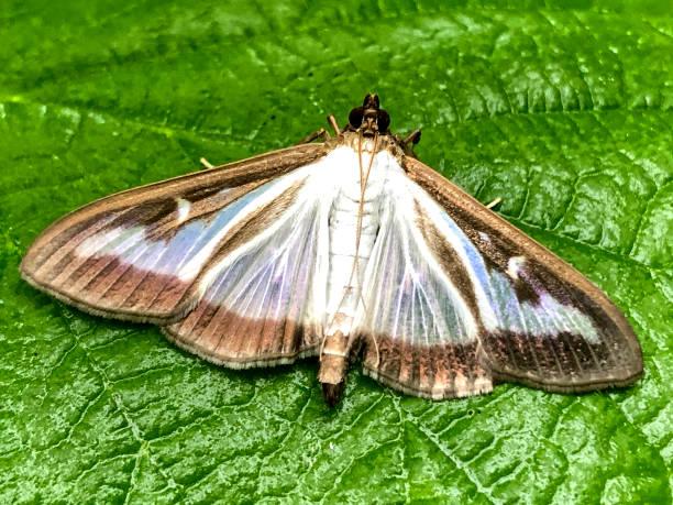 Box tree moth thought to be accidentally introduced to the uk in the picture id1165385072?b=1&k=6&m=1165385072&s=612x612&w=0&h=8nanwmzm6sfoieegqnzmakqawxqlz1hq9n0l vkopwo=