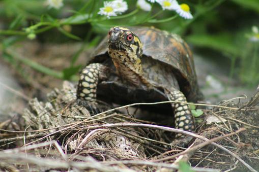Box turtle walking around the forest floor