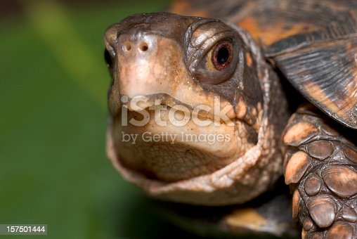 Shown here is an extreme close-up portrait of a box turtle peeking out of his shell.  Focus is precisely on the animal's eye. Green copy space behind.