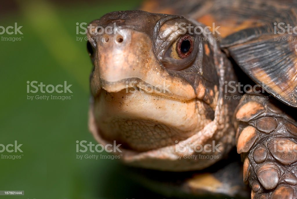 Box Turtle faces camera with focus on large brown eye stock photo