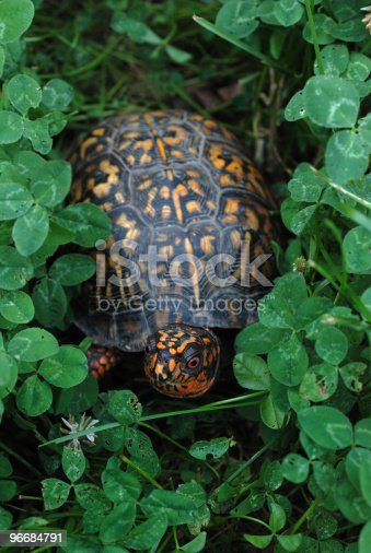 Box turtle in clover.