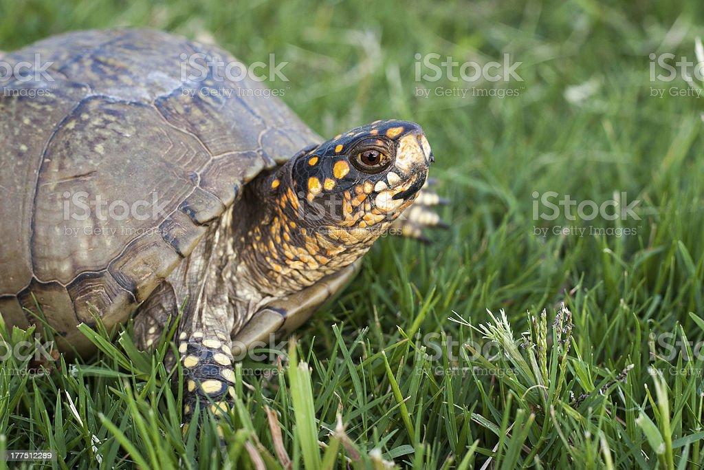 Box turtle in grass stock photo