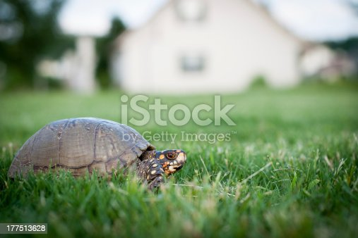 Box turtle in grass yard with house background
