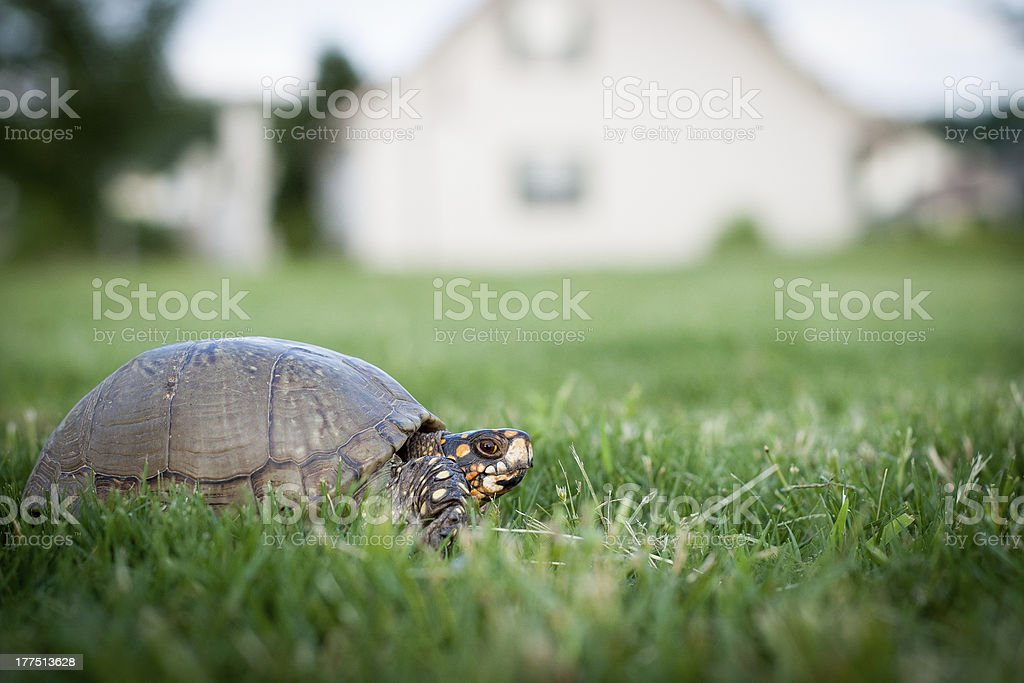 Box turtle in grass yard with house background stock photo