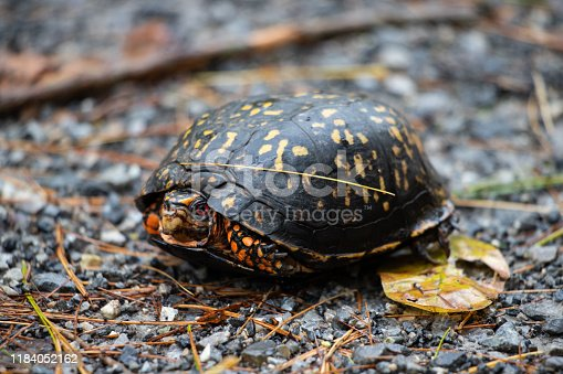 Close up of a box turtle on a hiking trail near Roanoke, Virginia in the fall.