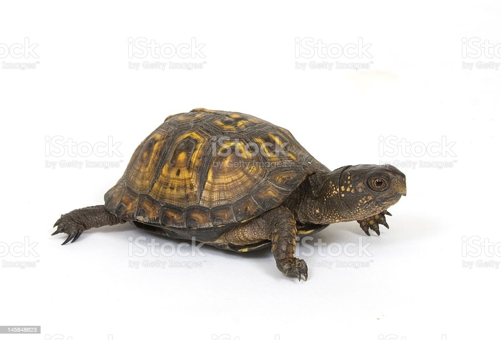 Box turtle on a white background royalty-free stock photo
