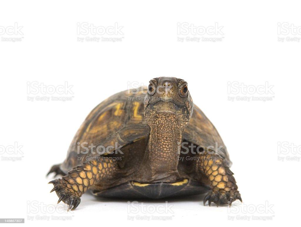 Box turtle on a white background royalty-free stock photo
