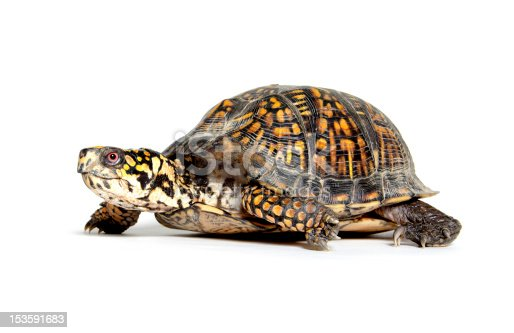 Box turtle walking on white background