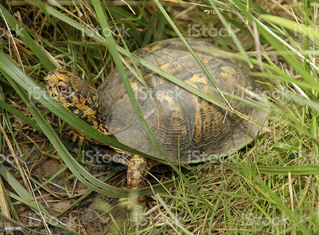 Box turtle partially concealed in green grass royalty-free stock photo