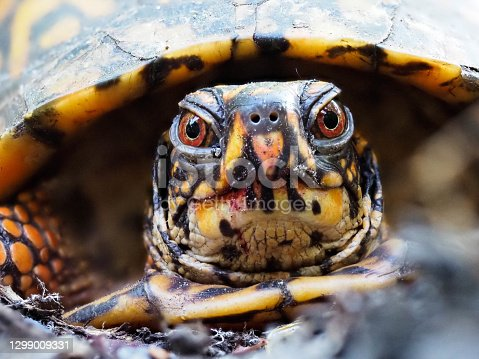 Macro photo of a box turtle during mating season.