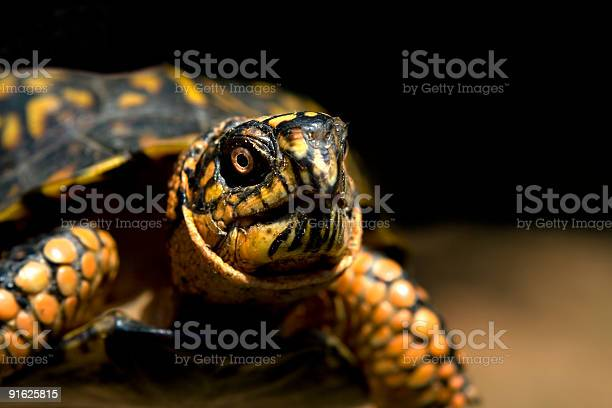 Box turtle picture id91625815?b=1&k=6&m=91625815&s=612x612&h=dwdimh v xuog0mxx2duckmtp1t9yf6i uwu2xlq du=