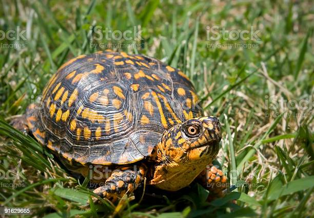 Box turtle picture id91629665?b=1&k=6&m=91629665&s=612x612&h=utzyzhz kg06ohvjxqtfjwqou3ggpc3vkgmdwybnq3g=