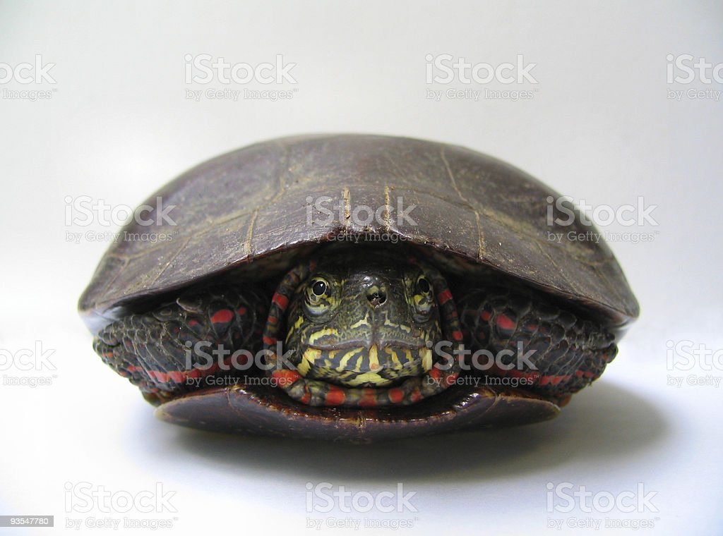 Box Turtle royalty-free stock photo