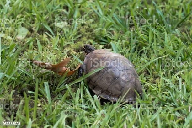 Box turtle picture id965833928?b=1&k=6&m=965833928&s=612x612&h=qgsx6pi1b2 jm76zmfxoi0phv2wloryhcjlbkcolzsc=