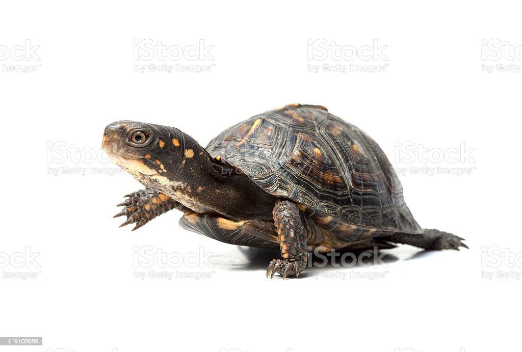 Box turtle walking on white background stock photo
