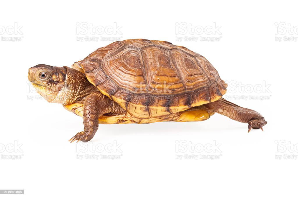 Box Turtle Walking to the side stock photo