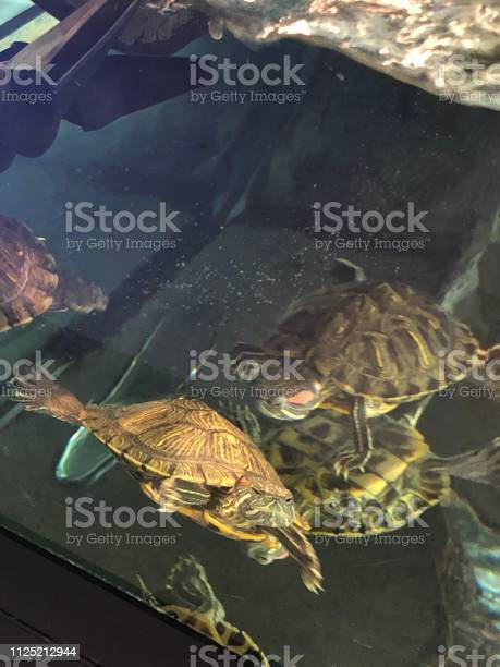 Box turtles in the water picture id1125212944?b=1&k=6&m=1125212944&s=612x612&h=xnsc9cqx8yn7 crvf7btofglenvcypxdnnsobnxevyk=