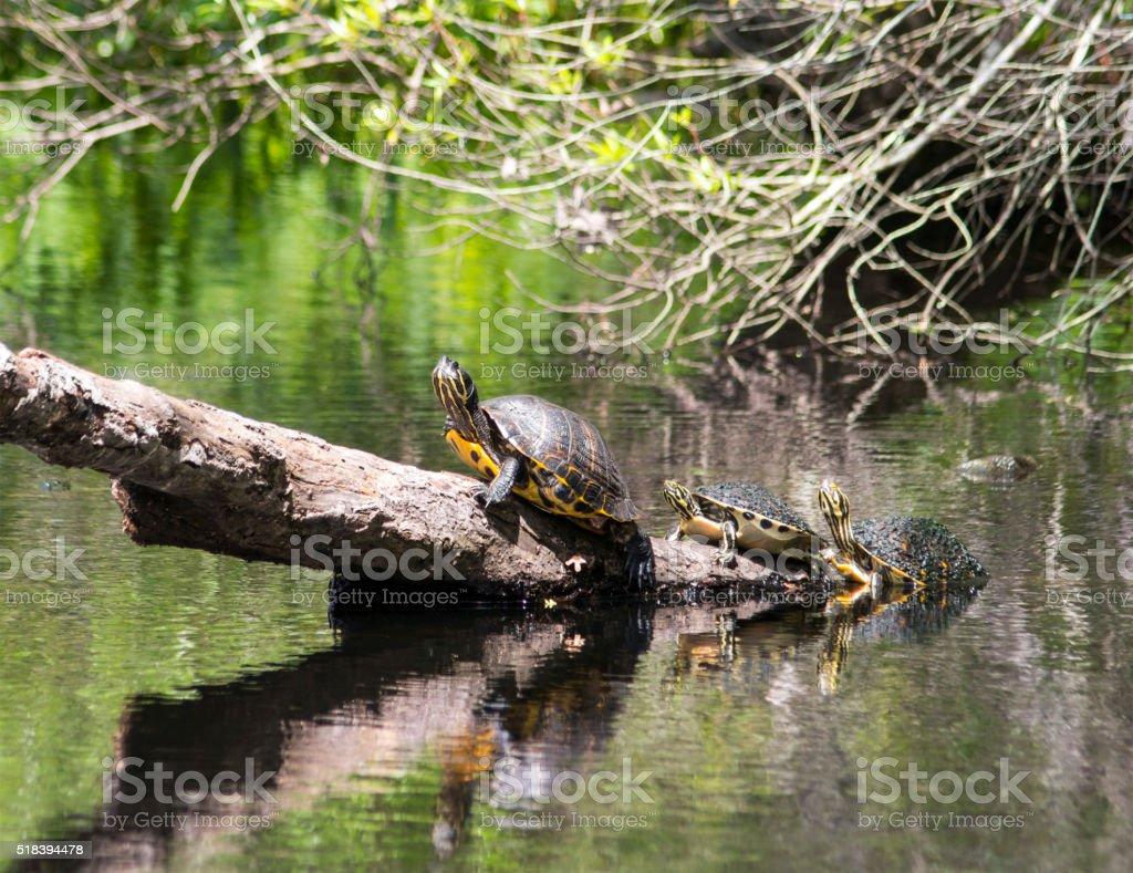 Box Turtles stock photo