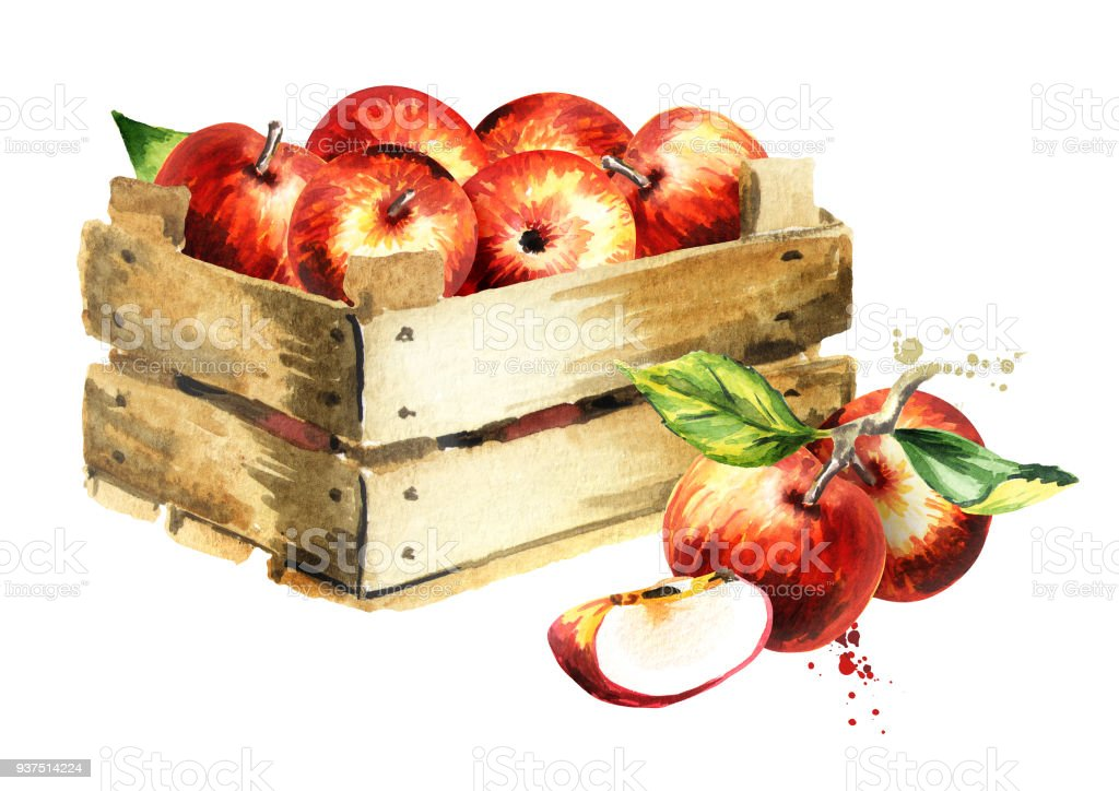 Box with apples. Watercolor Hand-drawn illustration stock photo