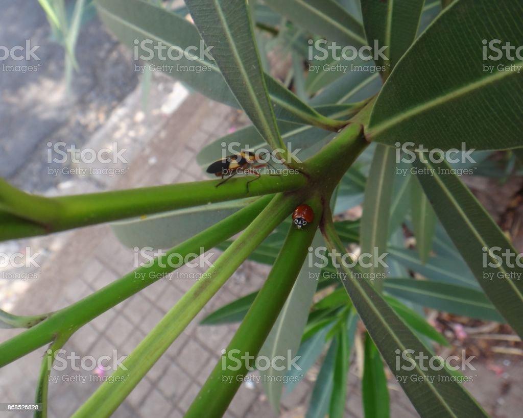 Boxelder bug and ladybug in oleander plant stock photo