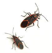 istock Boxelder Bugs 178506595