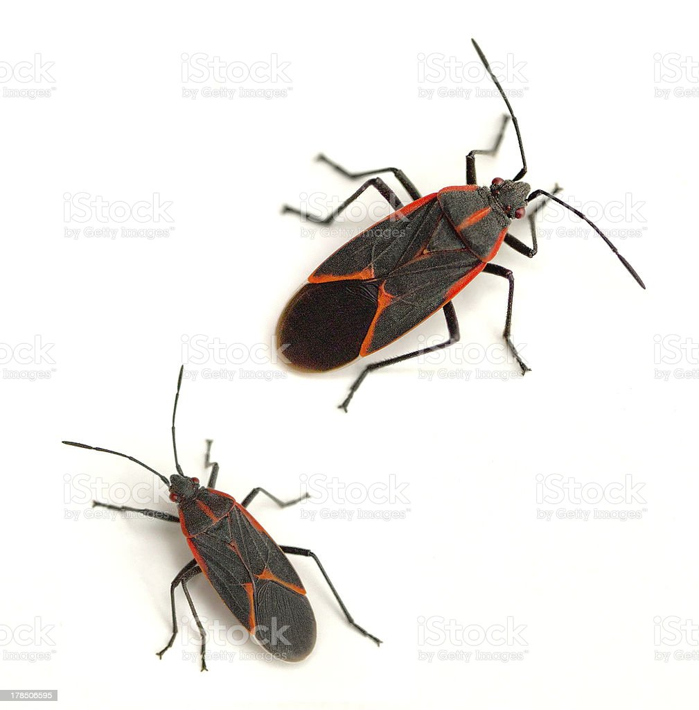 Boxelder Bugs stock photo