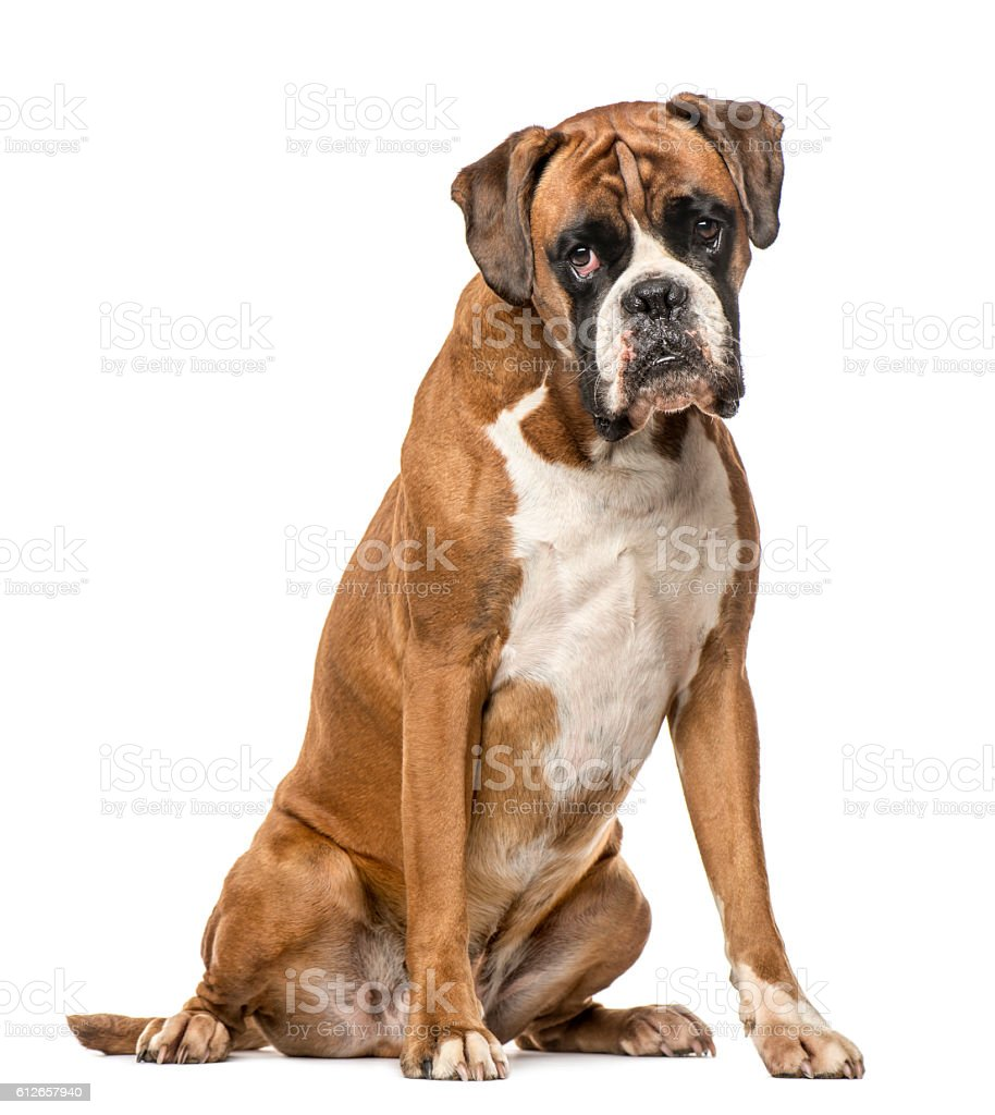Boxer, 4 years old, sitting on white background – zdjęcie