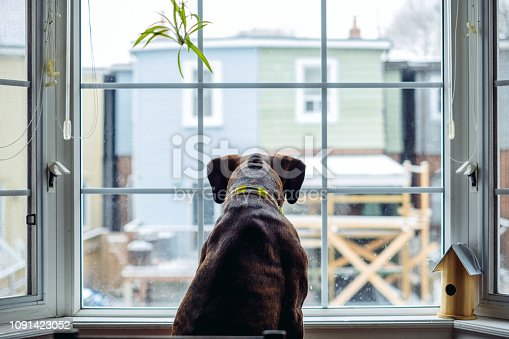 Boxer dog standing at the large window inside the home. Back lit scene with winter day outside. Focus on the contours of the dog.