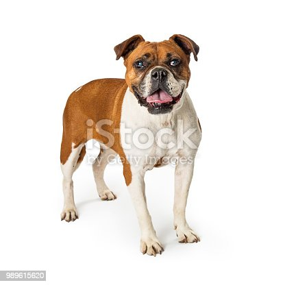 Mixed Boxer and Bulldog breeds dog standing on white background with mouth open
