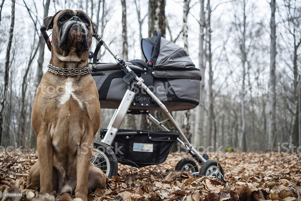 Boxer dog and baby stroller royalty-free stock photo