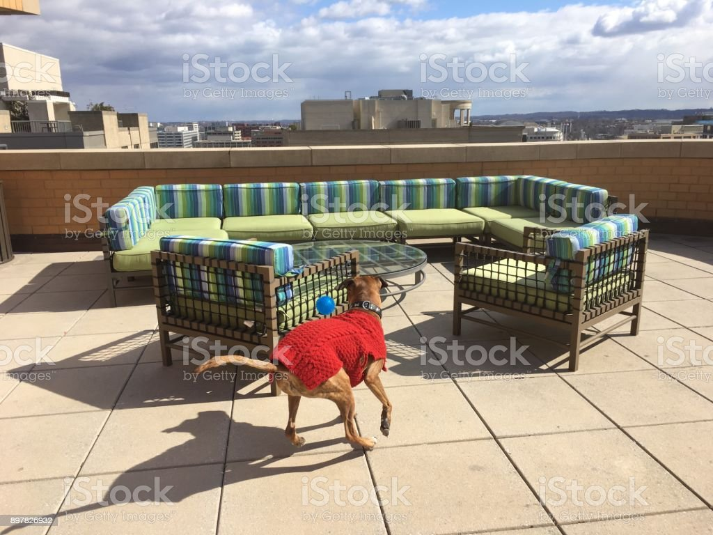 boxer dog wearing a red sweater plays fetch
