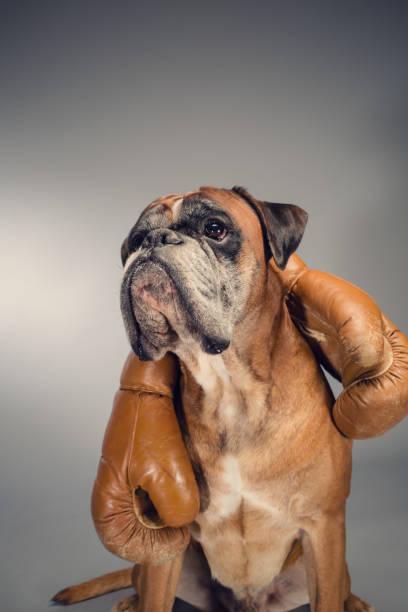 boxer dog holding an old boxing gloves. - bokser pies zdjęcia i obrazy z banku zdjęć
