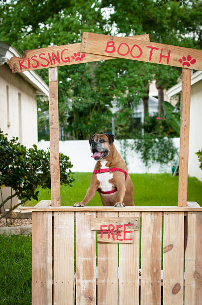 Boxer dog in a kissing booth stock photo