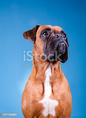 Boxer dog in the photo studio on blue background